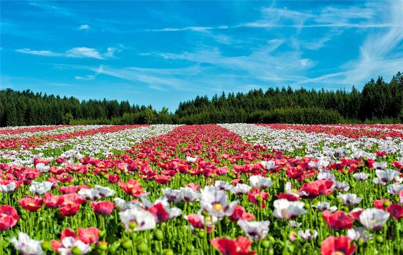 美丽的花朵盛开